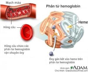 Hàm lượng hemoglobin thấp gây thiếu máu.